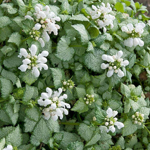 Lamium White Nancy - Quart