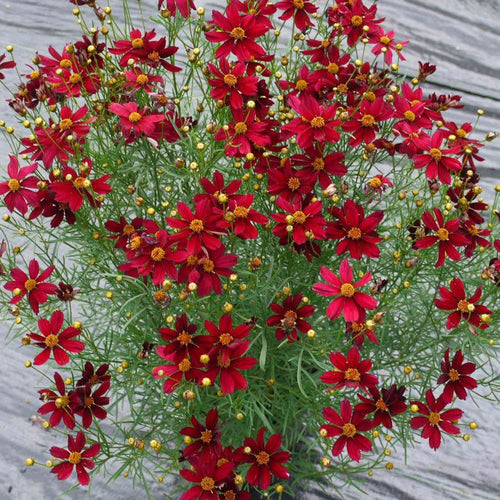 Coreopsis Red Satin - 1 Gal.