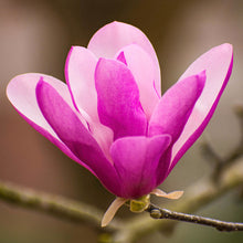 Load image into Gallery viewer, Magnolia Ann - 7 Gal.