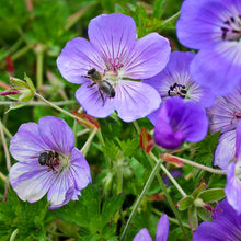 Load image into Gallery viewer, Geranium Rozanne - 1 Gal.