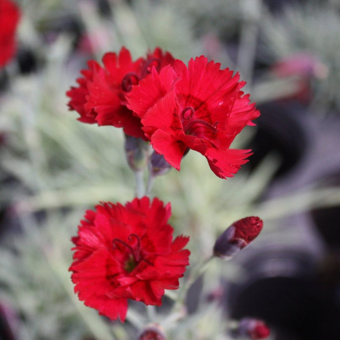 Dianthus Fire Star - 1 Gal.
