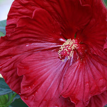 Load image into Gallery viewer, Hibiscus Cranberry Crush - 3 Gal.