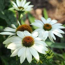 Load image into Gallery viewer, Coneflower Pow Wow White - 1 Gal.