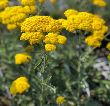 Load image into Gallery viewer, Yarrow Moonshine - 1 Gal.