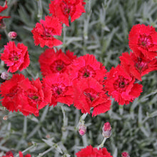 Load image into Gallery viewer, Dianthus Fire Star - 1 Gal.