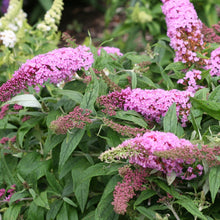 Load image into Gallery viewer, Butterfly Bush Pugster Pink - 3 Gal.