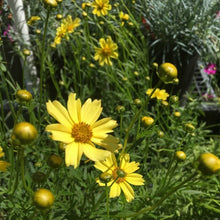 Load image into Gallery viewer, Coreopsis Crème Brulée - 1 Gal.