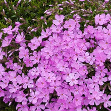 Load image into Gallery viewer, Phlox Creeping Emerald Pink - Quart