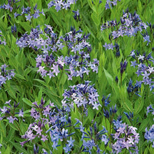 Load image into Gallery viewer, Amsonia Blue Ice - 1 Gal.