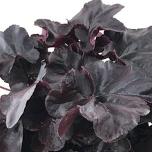 Load image into Gallery viewer, Coral Bells Obsidian - 1 Gal.