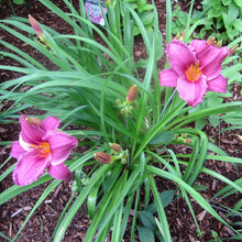 Load image into Gallery viewer, Daylily Purple D'Oro - 1 Gal.