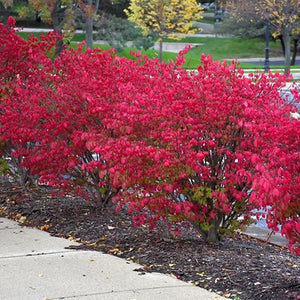 Burning Bush - 3 Gal.