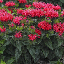 Load image into Gallery viewer, Bee Balm Pardon My Cerise - 1 Gal.