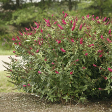 Load image into Gallery viewer, Butterfly Bush Miss Molly - 3 Gal.