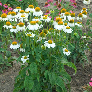 Coneflower Pow Wow White - 1 Gal.