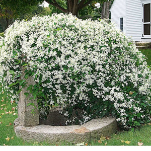 Clematis Sweet Autumn - 1 Gal.