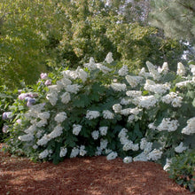 Load image into Gallery viewer, Hydrangea (Oakleaf) Alice - 3 Gal.