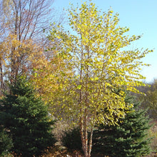 Load image into Gallery viewer, Birch River Multi-Stem - 15 Gal.