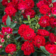 Load image into Gallery viewer, Rose Drift Red - 2 Gal.