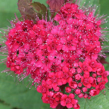 Load image into Gallery viewer, Spirea Double Play Doozie - 3 Gal.