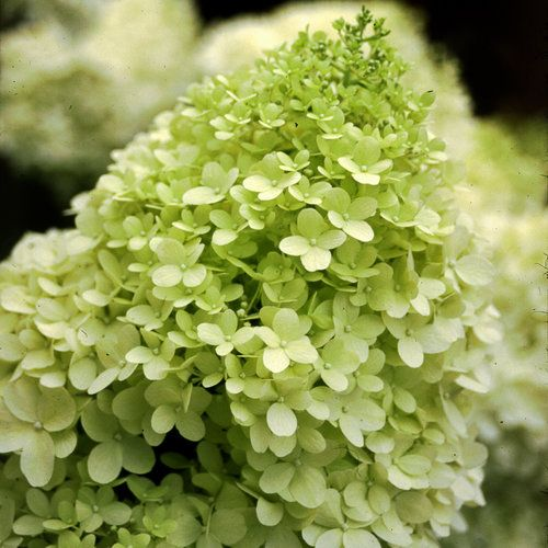 Hydrangea (Panicle) Limelight STD - 7 Gal.