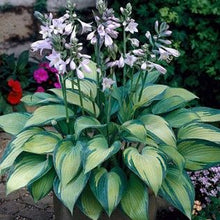 Load image into Gallery viewer, Hosta June - 1 Gal.