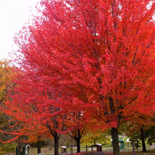 Load image into Gallery viewer, Maple Autumn Blaze - 15 Gal.