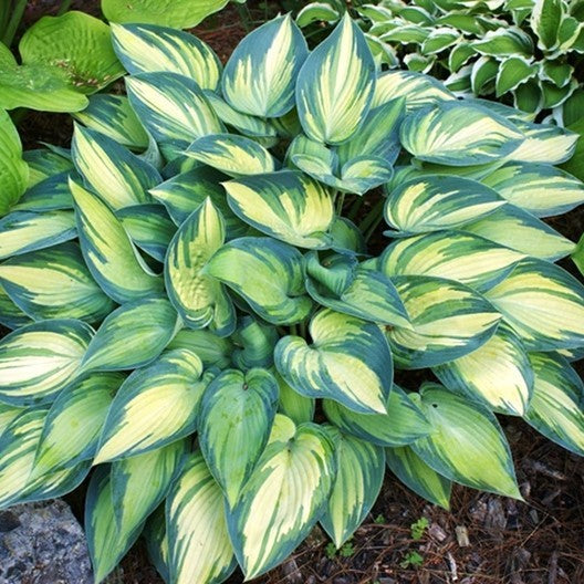 Hosta June - 1 Gal.