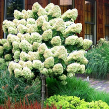 Load image into Gallery viewer, Hydrangea (Panicle) Limelight STD - 7 Gal.