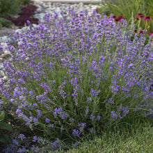 Load image into Gallery viewer, Lavender Munstead - 1 Gal.