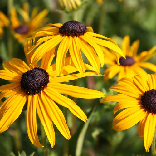 Black Eyed Susan Goldsturm - 1 Gal