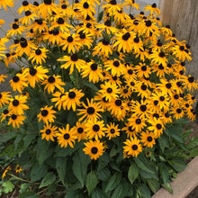 Load image into Gallery viewer, Black Eyed Susan Goldsturm - 1 Gal
