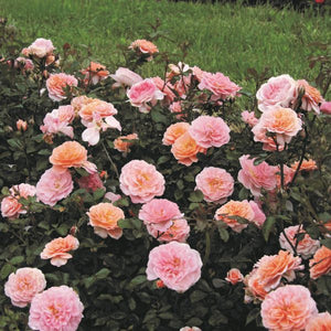 Rose Drift Apricot - 2 Gal.