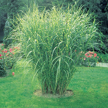 Load image into Gallery viewer, Grass Zebra - 3 Gal.