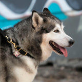 Malamute in Biothane dog collar