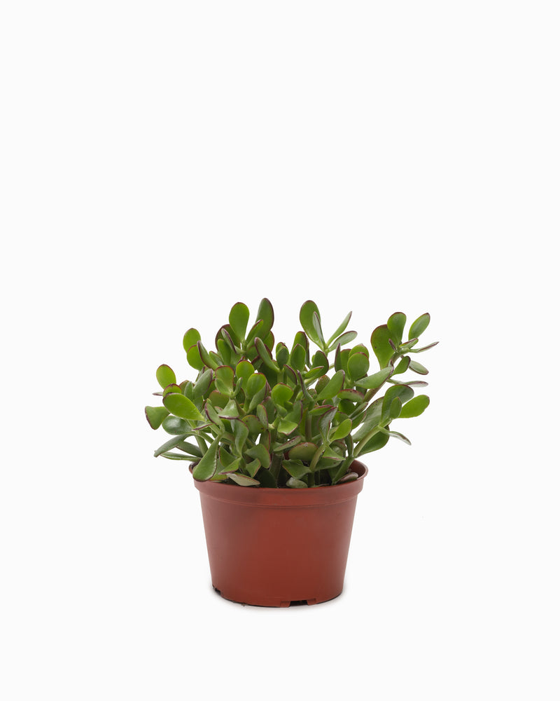 Jade Plant - 6in