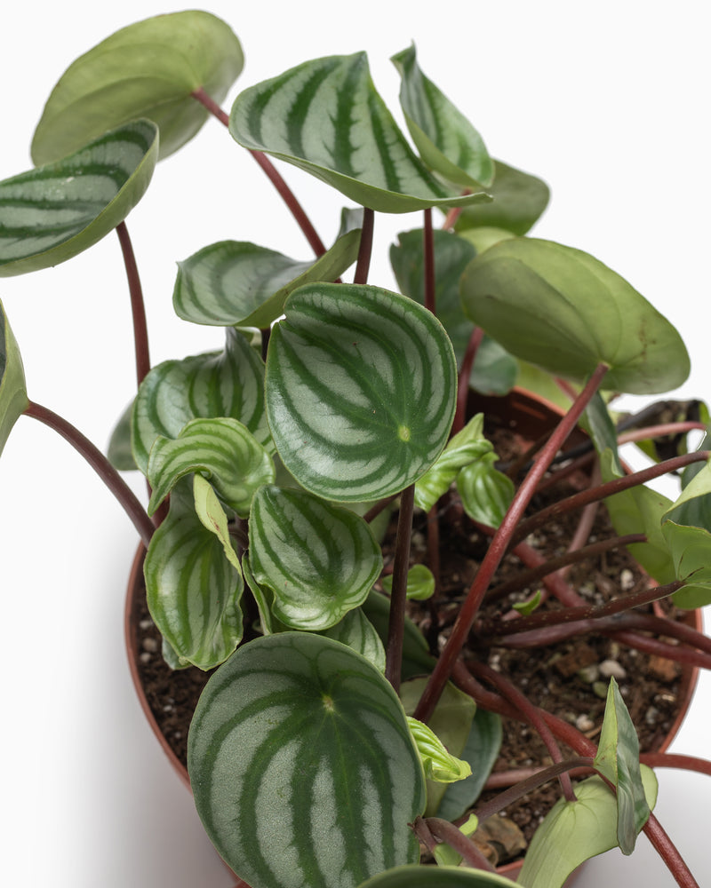 Peperomia Watermelon - 6in