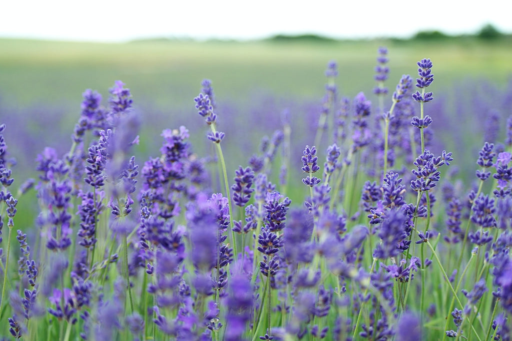 Organic lavender grown in Colorado is used for lavender face toner