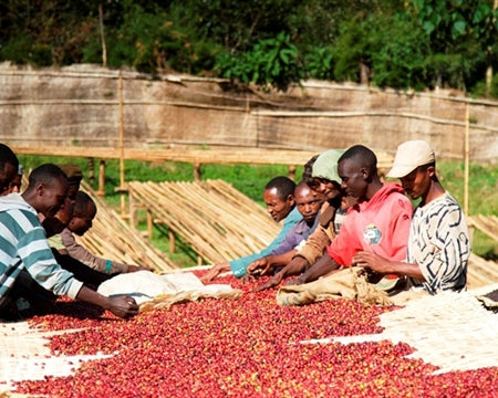 Halo Bariti coffee cherries being spread out on large mats to be dried in the sun. (photo: Royal Coffee)