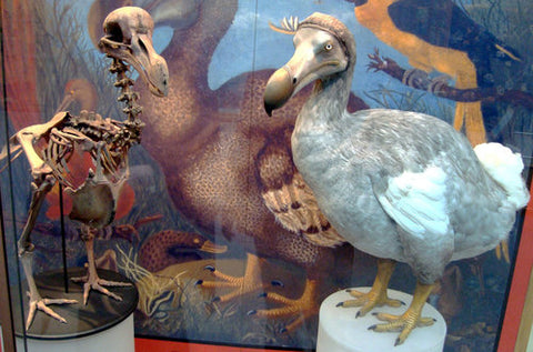 Dodo display in the Oxford Museum of Natural History