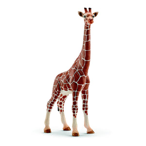 Giraffe, female