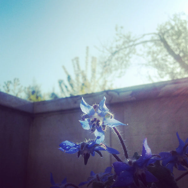 sunlight in the borage