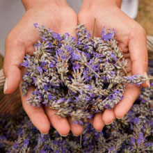 Organic Lavender Extract