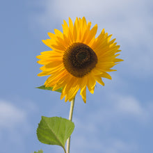 rganic Sunflower Oil