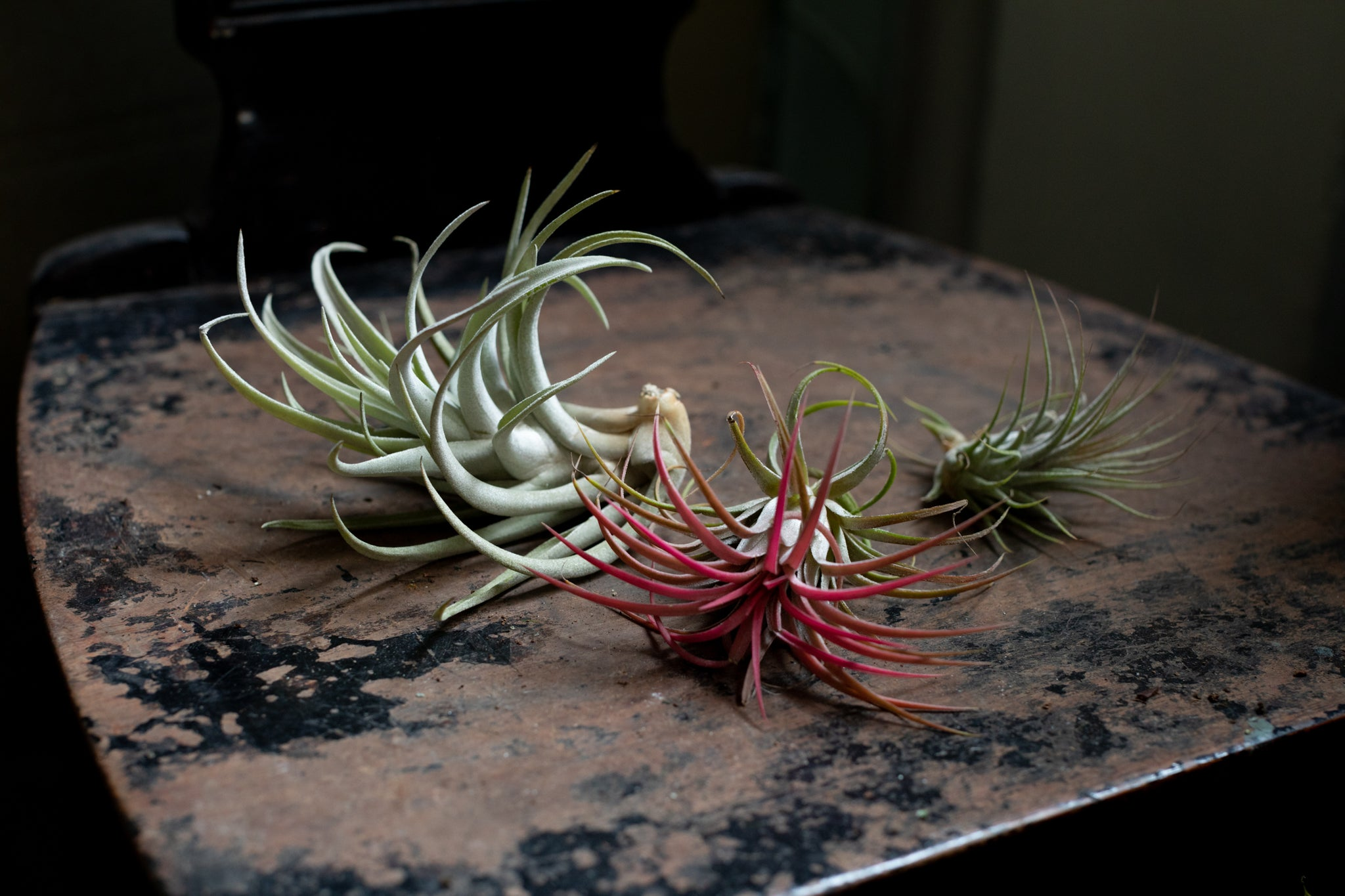 Airplants indoor houseplant Ireland