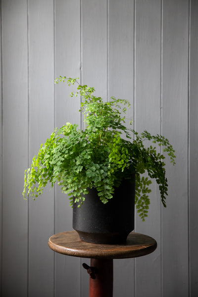 Maidenhair fern - Adianthum