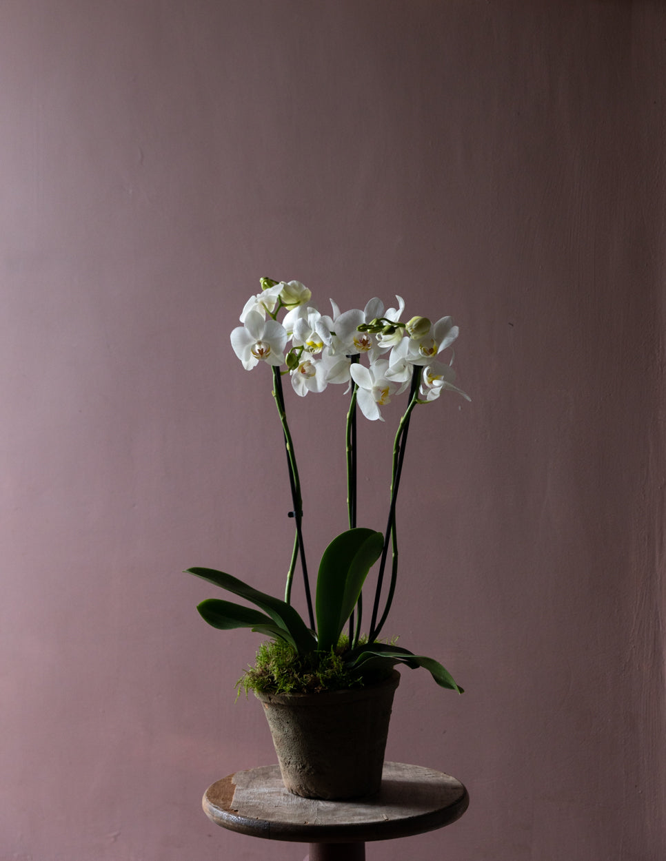 Indoor Houseplants Ireland Orchid