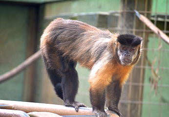 SPONSOR HAMBONE THE CAPUCHIN FOR DAY OR WEEK