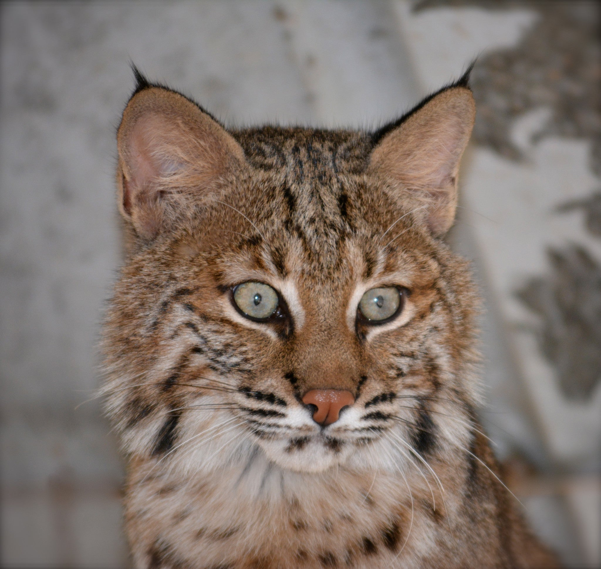 SPONSOR BABY BOB THE BOBCAT FOR A DAY OR WEEK