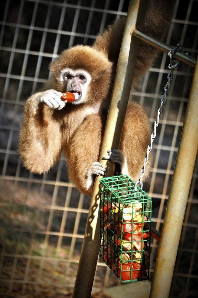 SPONSOR CHEROKEE THE WHITE GIBBON FOR DAY OR WEEK